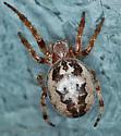 Araneidae - Larinioides cornutus
