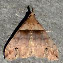 Ambiguous Moth - Lascoria ambigualis - male