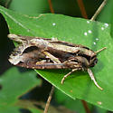 Sweetpotato Armyworm Moth - Hodges #9671 - Spodoptera dolichos