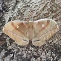 An unidentified moth - Antheraea polyphemus