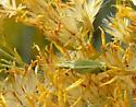 Common Tree Crickets (Oecanthus) - Oecanthus - female