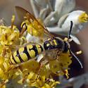 Crioscolia alcione - male