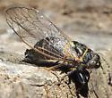 Putnam's Cicada, live adult - Platypedia putnami