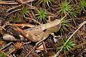 Grasshopper - Chloealtis conspersa - female