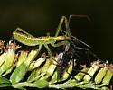 Assassin bug nymph eating a flly - Zelus luridus