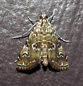 4751 – Elophila gyralis – Waterlily Borer - Elophila gyralis