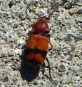 Carabidae? - Panagaeus fasciatus