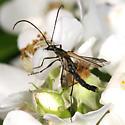 flower longhorn - Strangalia acuminata