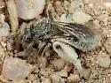 Bee - Andrena - female