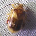 beetle - Capraita obsidiana
