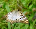 White Peacock Butterfly - Anartia jatrophae - Anartia jatrophae