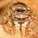 Jumping Spider - Attinella
