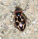 lady beetle sp? - Naemia seriata