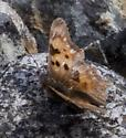 Anglewing or california tortoiseshell?? - Polygonia faunus