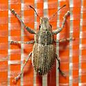 Big Weevil - Naupactus leucoloma