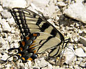 female adult eastern tiger swallowtail/Papilio glaucus-lateral view showing body and underwing - Papilio glaucus - female