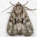 Dark-winged Quaker - Hodges#9396 - Eremobina claudens