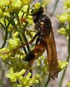 Sphecid? - Philanthus bicinctus - male