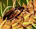 Heteroptera - True Bugs Oedancala dorsalis - Oedancala dorsalis