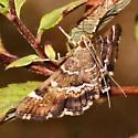 Spotted beet webworm - Hymenia perspectalis
