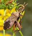 Squash Bug - Piezogaster calcarator - male
