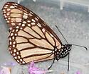 Monarch ? - Danaus plexippus