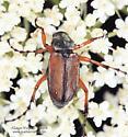 Coleoptera - Macrodactylus subspinosus