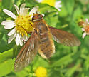 Poecilanthrax tegminipennis? - Poecilanthrax tegminipennis