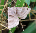 Six-spotted Gray?  - Caenurgina crassiuscula