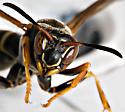 Wasp - face - Polistes fuscatus - female