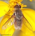 Bee Fly - Paravilla