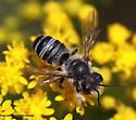 Bee - Megachile pugnata