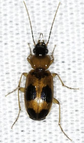 Tiny carabid on the moth sheet - Badister neopulchellus