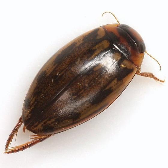 Coptotomus venustus (Say) - Coptotomus venustus - female
