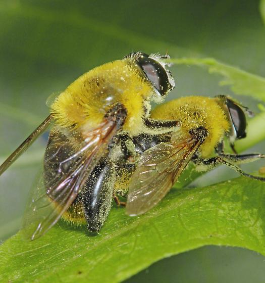 Syrphidae - Mallota bautias - male - female