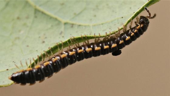 millipede - Oxidus gracilis