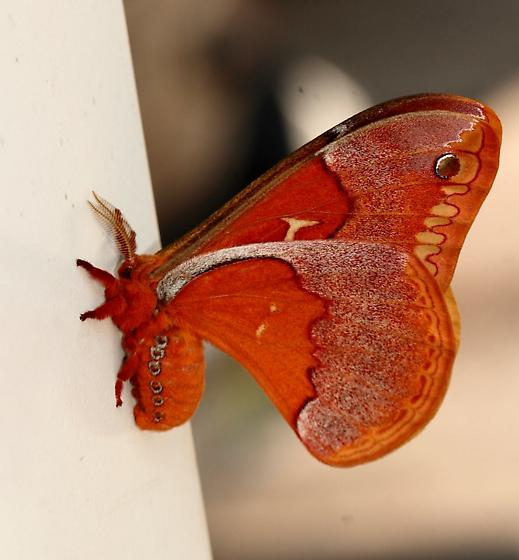 Unk. Moth 050214 - Callosamia securifera