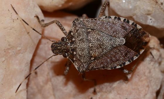 Stink bug - Halyomorpha halys