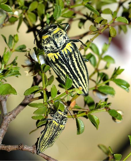 Gyascutus planicosta - male - female