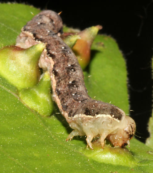 Lep larva feeding - Lithophane