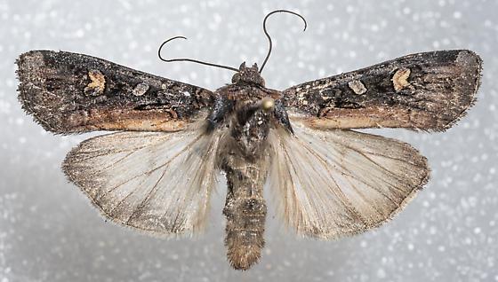 Actebia fennica - male