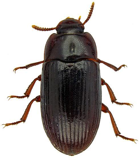 Tenebrionidae? - Alphitobius diaperinus
