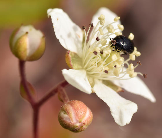 carpet beetle - Cryptorhopalum triste