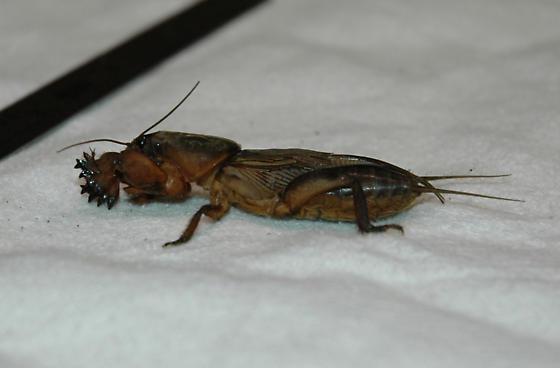 Mystery bug in suburban New York - Gryllotalpa gryllotalpa - male