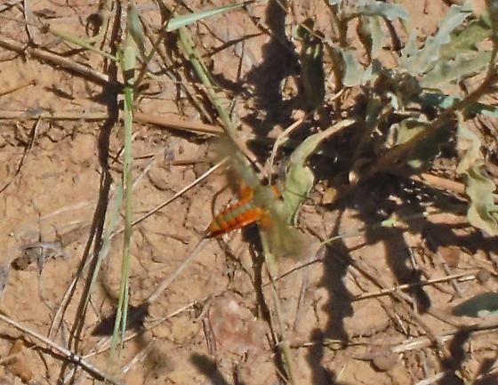 Bright Green & Orange Day-flying Sphingid - Melittia grandis