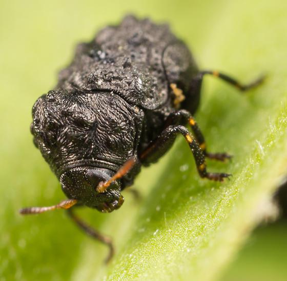 Warty Leaf Beetle - Exema