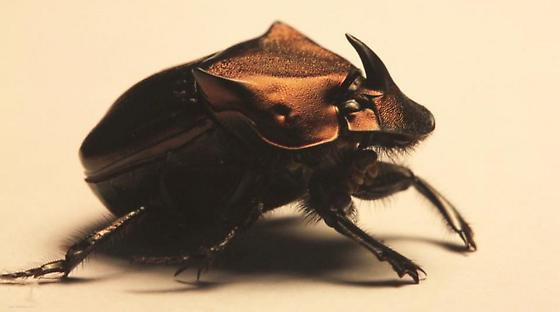 Phanaeus triangularis (minor male?) - Phanaeus triangularis - male