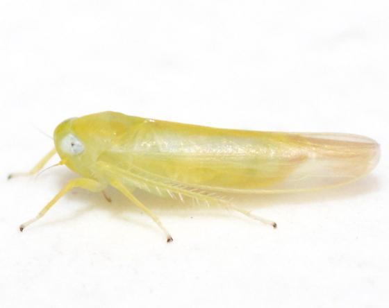 Alebra - Alebra wahlbergi - female