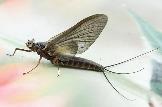 Mayfly - Leptophlebia - female