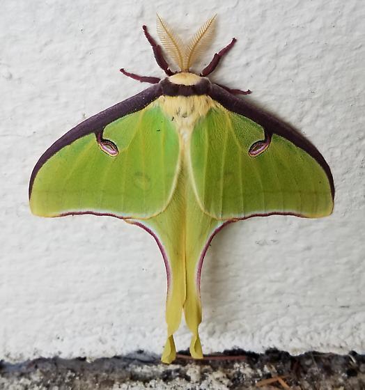 Luna Moth in April in Oakland, NJ - Actias luna - male